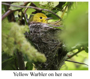 Yellow Warbler on Nest